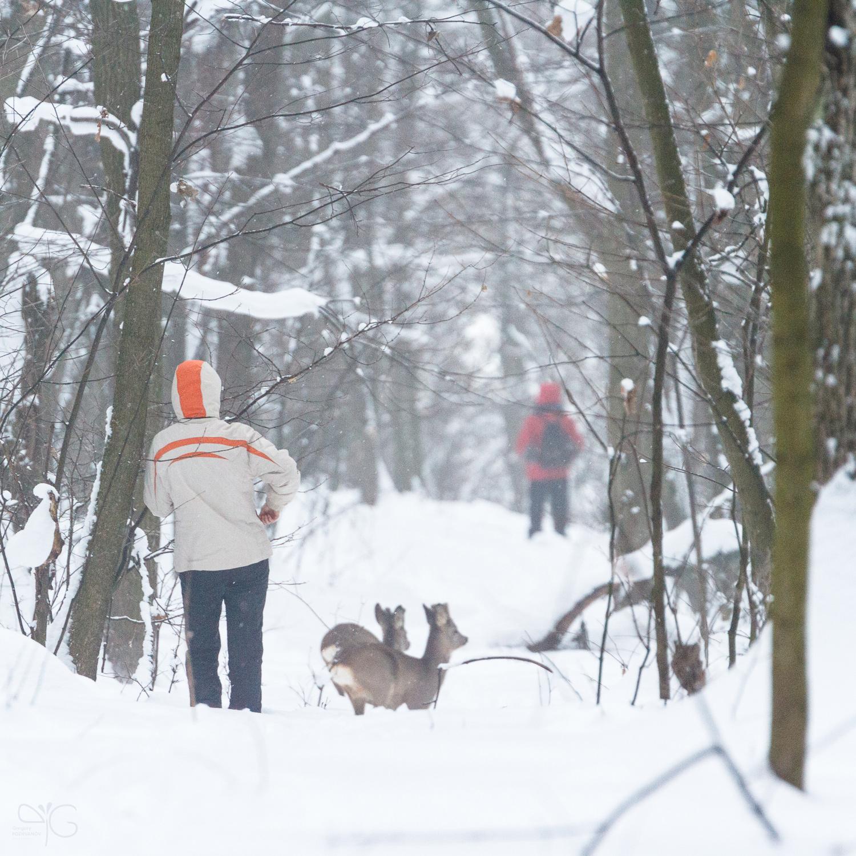 Косули перебегают просеку между кварталами дубравы Лес на Ворскле