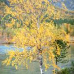 Берёза на берегу Полигонального озера