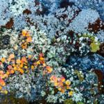 Лишайники и карликовая берёза на камнях