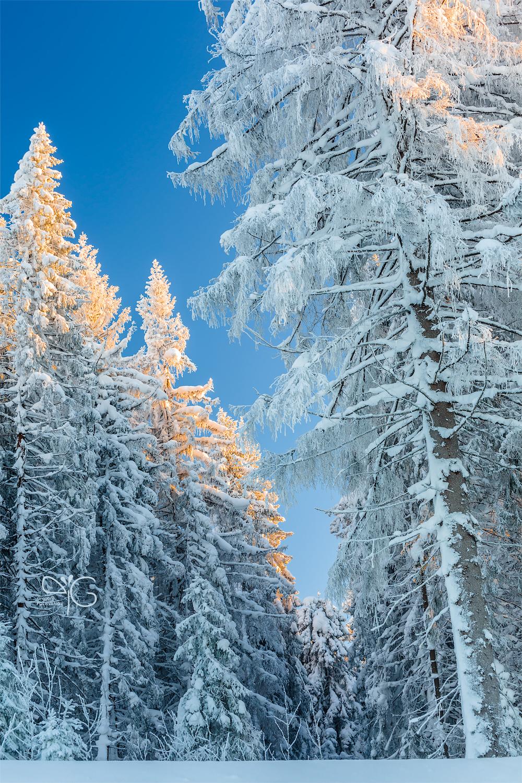 Шапки снега и иней на елях