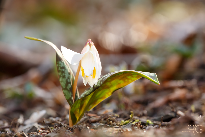 Эритроний, балансирующий между зимой и весной