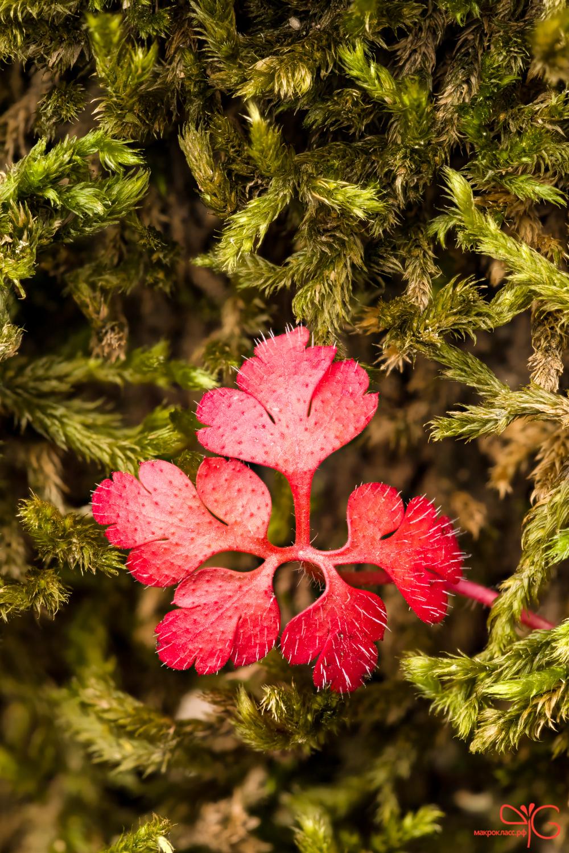 Ярко-красный листик герани