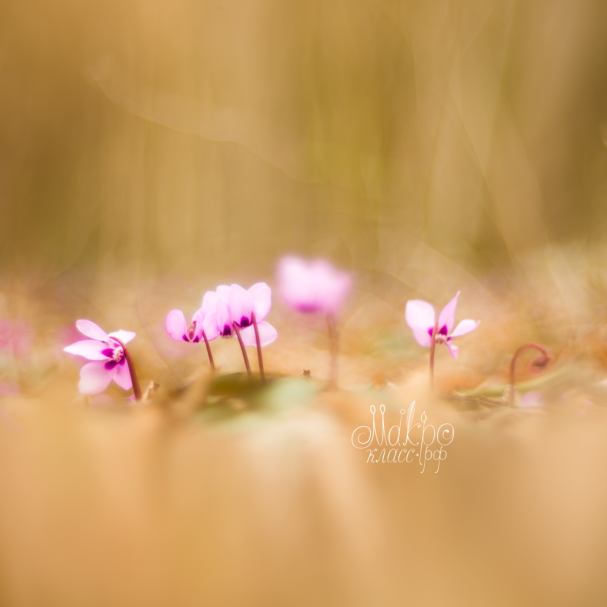 «Little pink cuties on a nowhere lawn», official Macroclass wallpaper for iPad