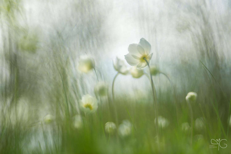 Светлая – к белому свету | Anemone nemorosa, ветреница дубравная