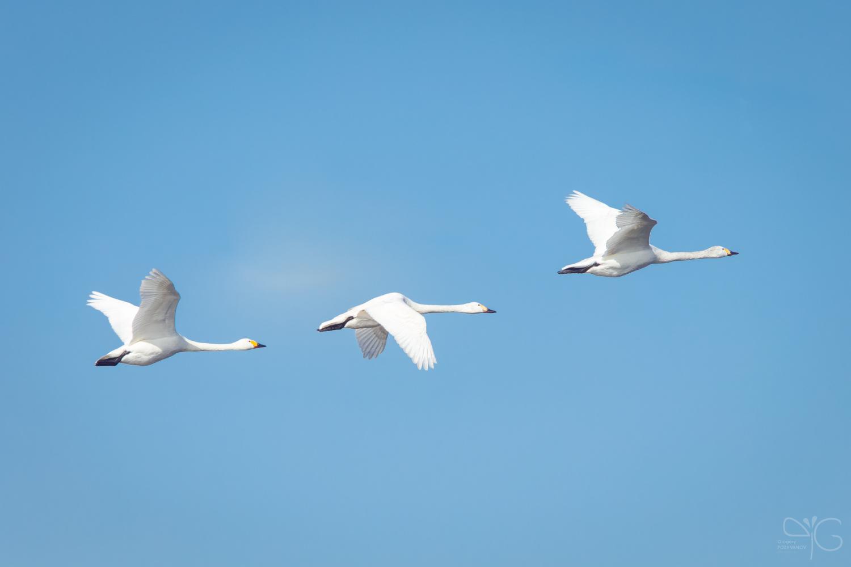 Swans arrived!