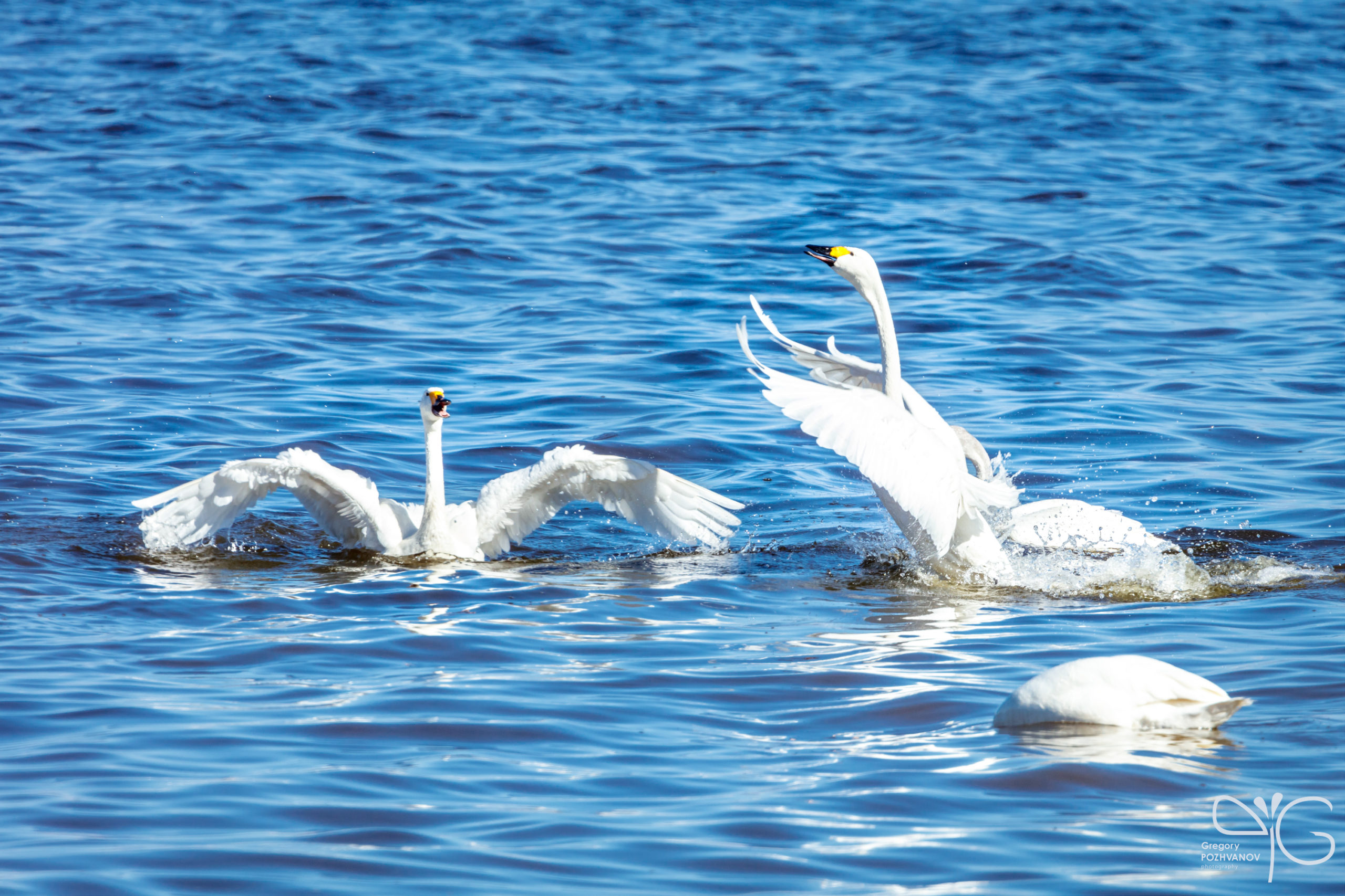 Swan fights | Gulf of Finland, Lebyazhje, April 2016