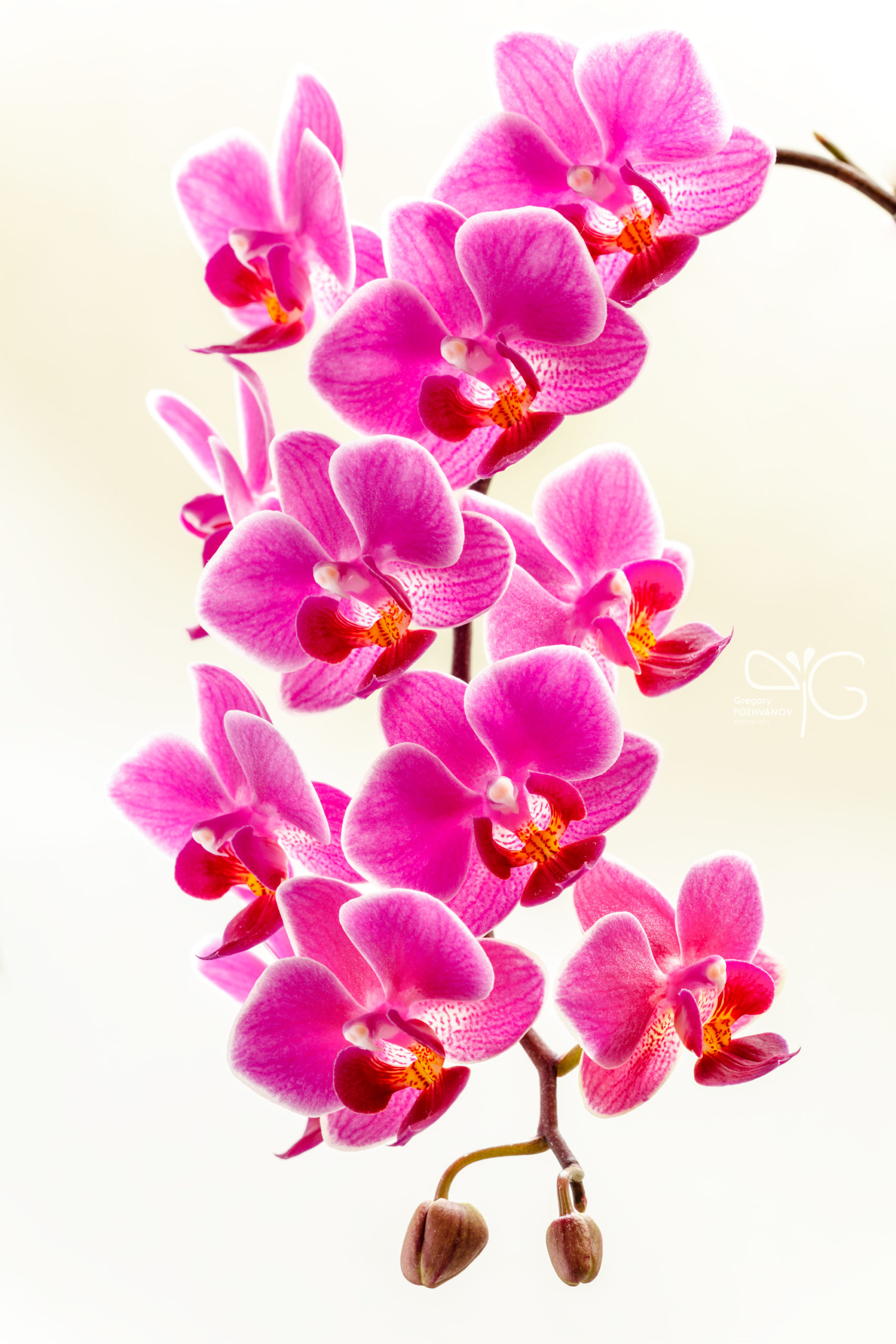 Flowering Phalaenopsis