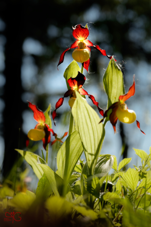 Cypripedium calceolus, венерин башмачок настоящий
