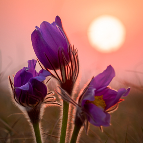 Pasqueflower at sunset | Сон-трава на закате — 119215